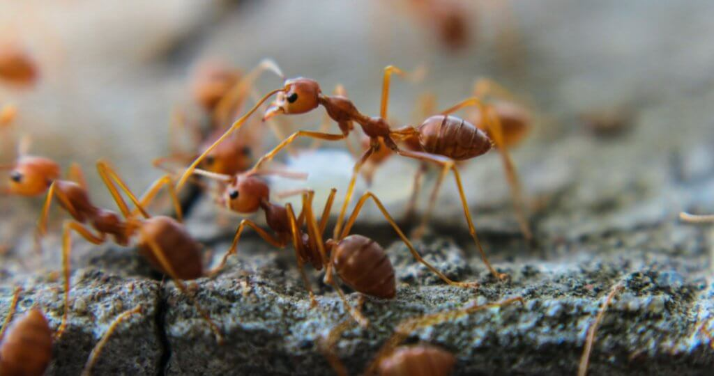 fire-ants-pest-control-st-pete-florida