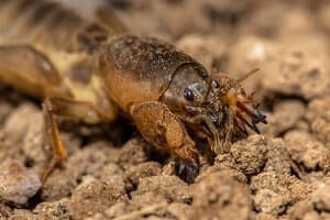 get rid of mole crickets in your pinellas yard